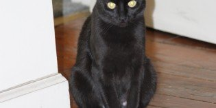 Gorgeous Bombay Cat Needs a Forever Home!