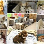 BARCS Takes in 53 Chihuahuas from one Home