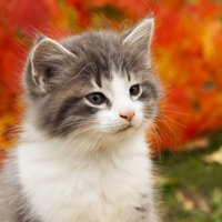 Little kitten born in the fall. Nice leaf color in background.